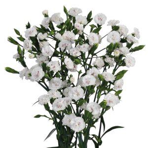 Dianthus Raffine