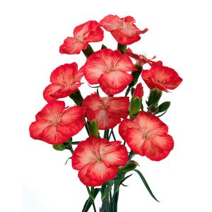 Dianthus Spray