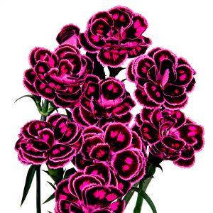 Dianthus Profumati